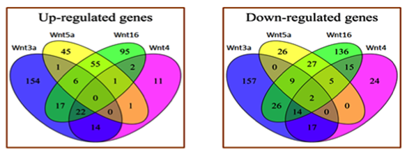 Figure 1. venn (relationship) diagrams showing overlap between wnt3a, wnt4, wnt5a, and wnt16 signal protein ligand targets.
