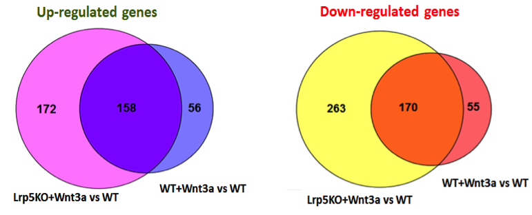 Figure 2. venn diagrams showing overlap between genes differentially regulated by wnt3a in wt osteoblasts and lrp5<sup>ko</sup> osteoblasts (genes identified by both tuxedo pipeline and voom-limma pipeline).