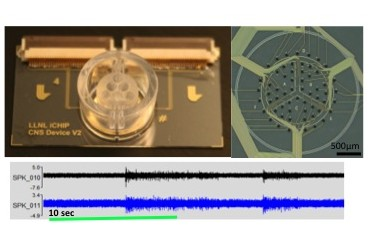 Our central nervous system platform with embedded electrode array to recapitulate the human brain on a microfluidic device (top), with an example of electrophysiology recordings from neurons on the system (below).