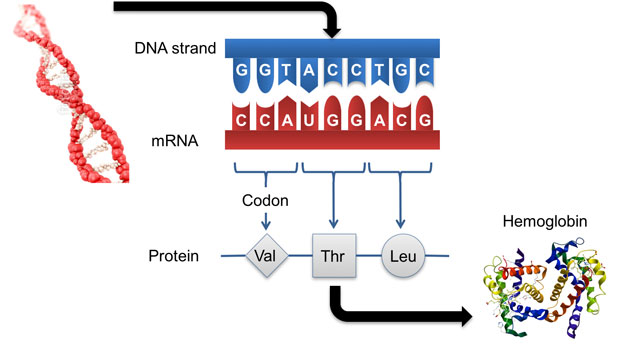 Representation of how dna is translated to protein. we are utilizing this process to identify mutations in dna that are expressed as changes in protein structure. these mutations can be used to enable human identification from hair and other tissue types.