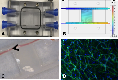 Figure 4. printed material was cultured under dynamic flow conditions to mimic in vivo conditions. a bioreactor (a) was constructed to allow for interstitial flow and concentration gradients (b) between coaxially printed vessels across printed tissue compartment (c) to guide the vasculature formation (d).