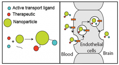 Figure 1. therapeutic cargo and ligands enabling active transport at the blood–brain barrier can be conjugated to a nanoparticle. the entire conjugate is then transported into the brain by the cells at the blood–brain barrier.
