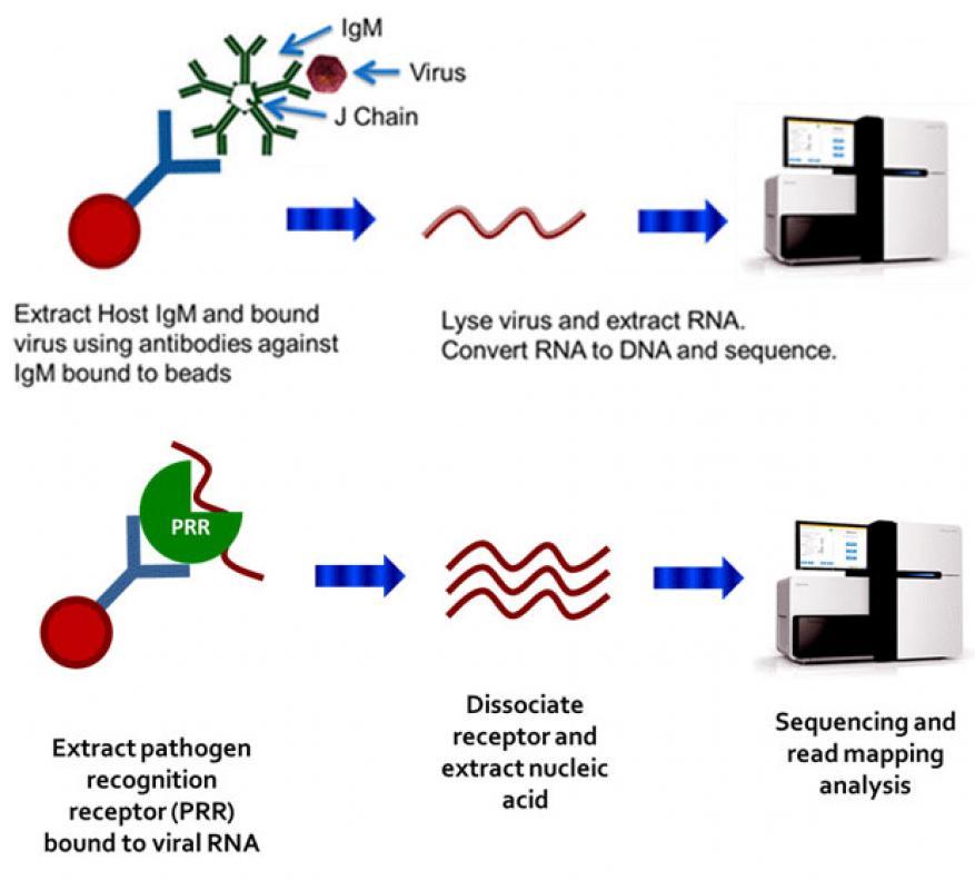 Figure 1. sample processing steps for the pathogen recognition receptor assay (top) and the immunoglobin (igm) capture assay (bottom).