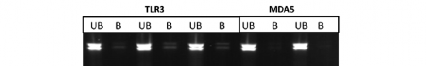Figure 2. representative sindbis multiplex polymerase chain reactions. three infection timepoints performed (16, 24, 48 hrs), with four ips each (gapdh, tlr3, mda5, rig-i); b= bound, ub= unbound. shown are a subset of polymerase chain reaction products from the tlr3 and mda data.