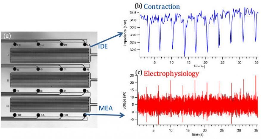 Figure 5: a) microelectrode and interdigitated electrode arrays enable simultaneous measurement of cell contractility (b) and electrophysiology/field potential (c).