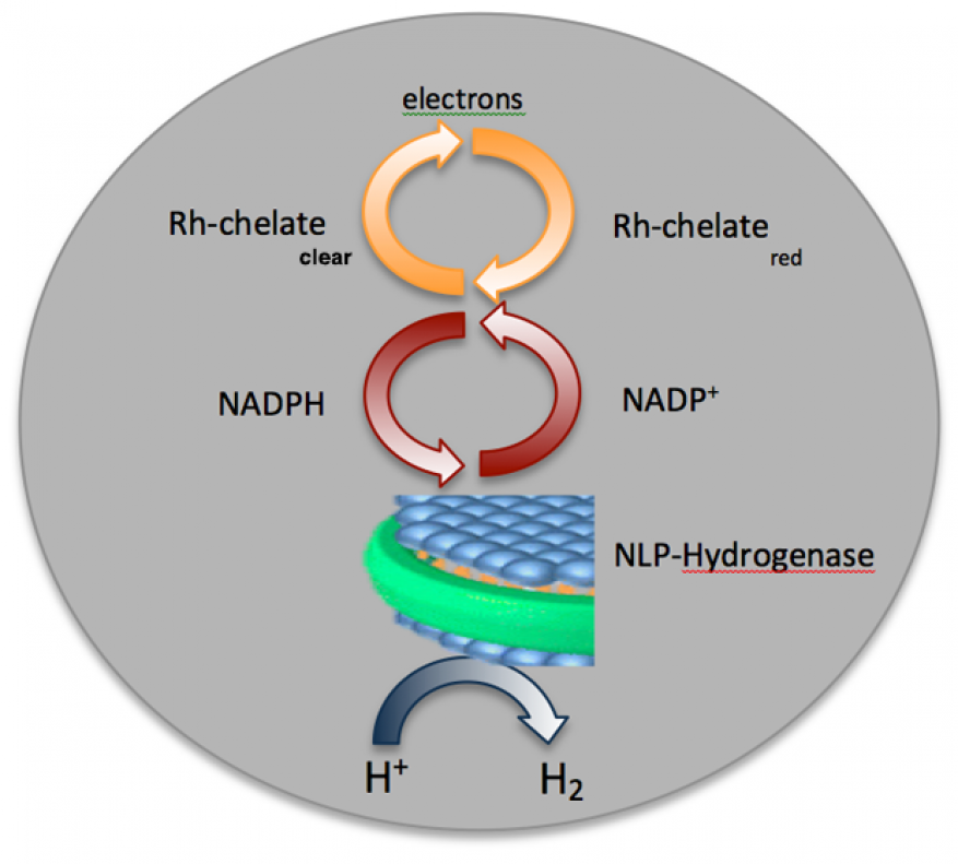 Figure 1. our goal was to use a unique rhodium (rh) catalyst to recycle the hydrogenase cofactor (nadp<sup>+</sup>) in order to incorporate nanolipoprotein particle–membrane-associated hydrogenases into a flow-cell system that promotes the transfer of electrons from a small battery through a redox pathway to reduce h<sup>+</sup> to h2 gas.